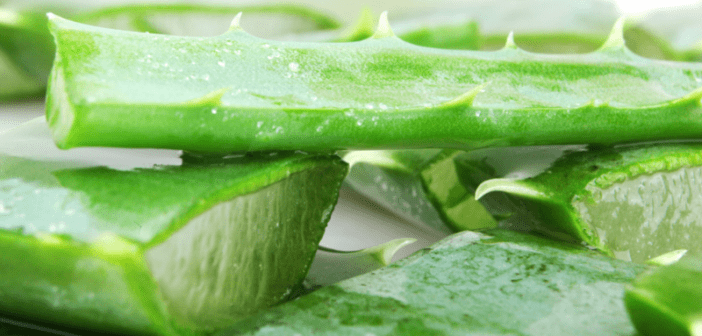 Aloe Vera: Is it really good enough to eat and more?  Welltodo